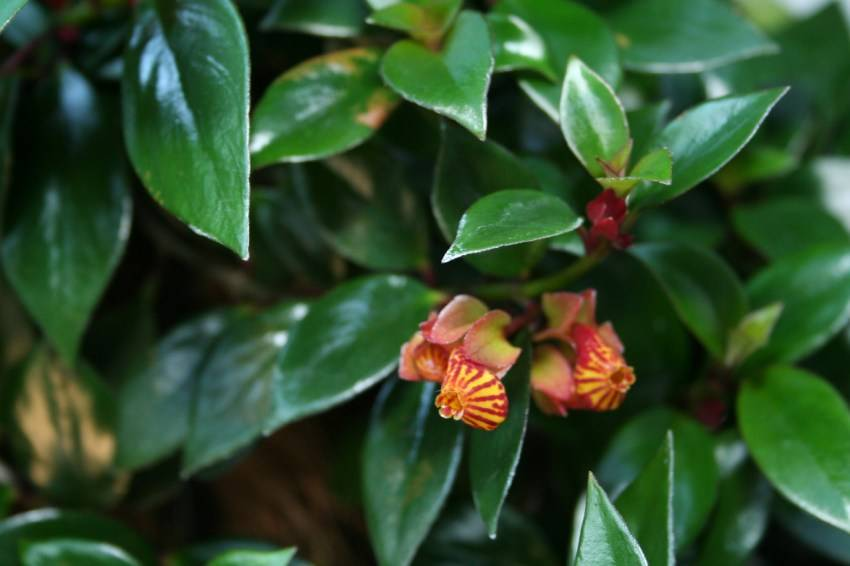 Почему не цветет гипоцирта? уход в домашних условиях. фото — ботаничка.ru