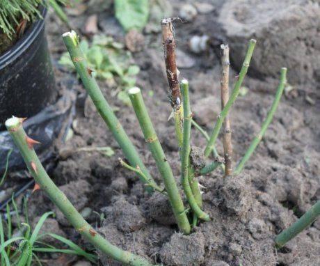 Обрезка роз на зиму: надо ли и как правильно это сделать осенью для начинающих