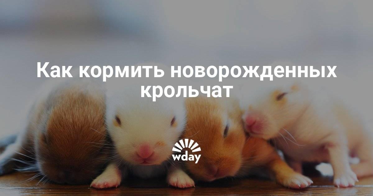 Как выкармливать новорожденных крольчат без крольчихи