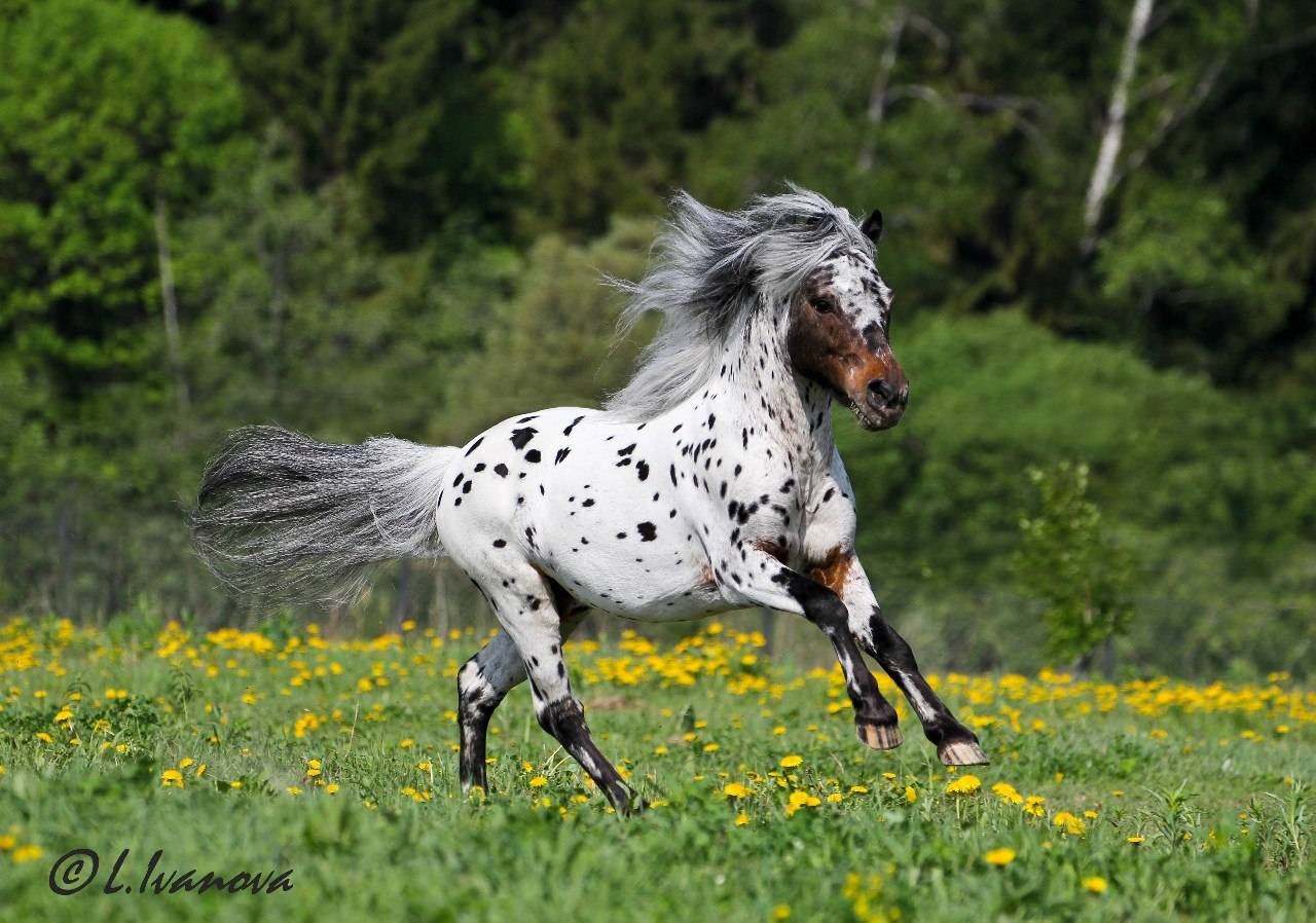 ᐉ лошадь породы аппалуза: происхождение, описание экстерьера, характер, использование - zooon.ru