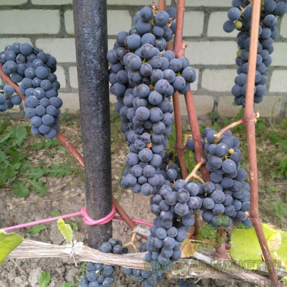 Характеристика винограда сорта  вэлиант