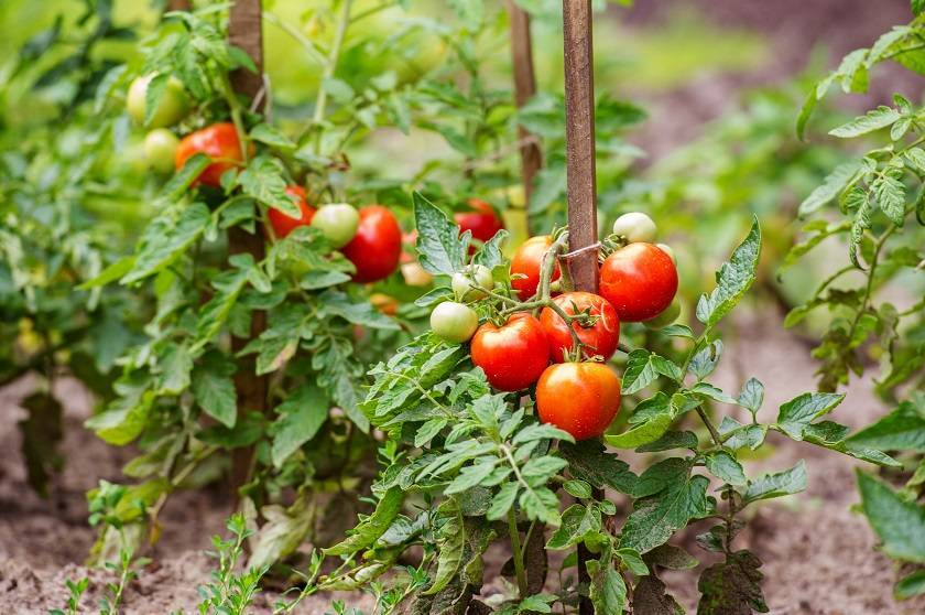 Как пасынковать помидоры: секреты профессионалов и советы сколько раз и когда можно прищеплять помидоры