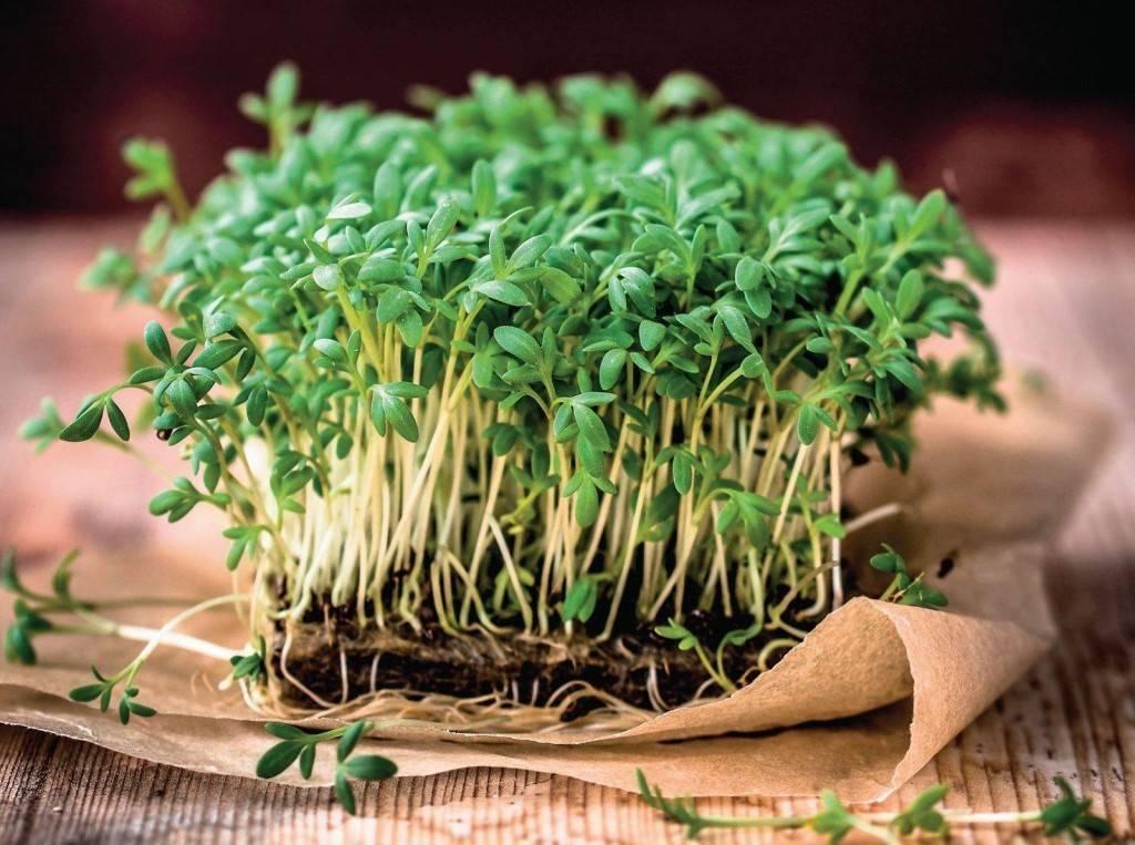 Ростки брокколи: полезные свойства, как вырастить — selok.info