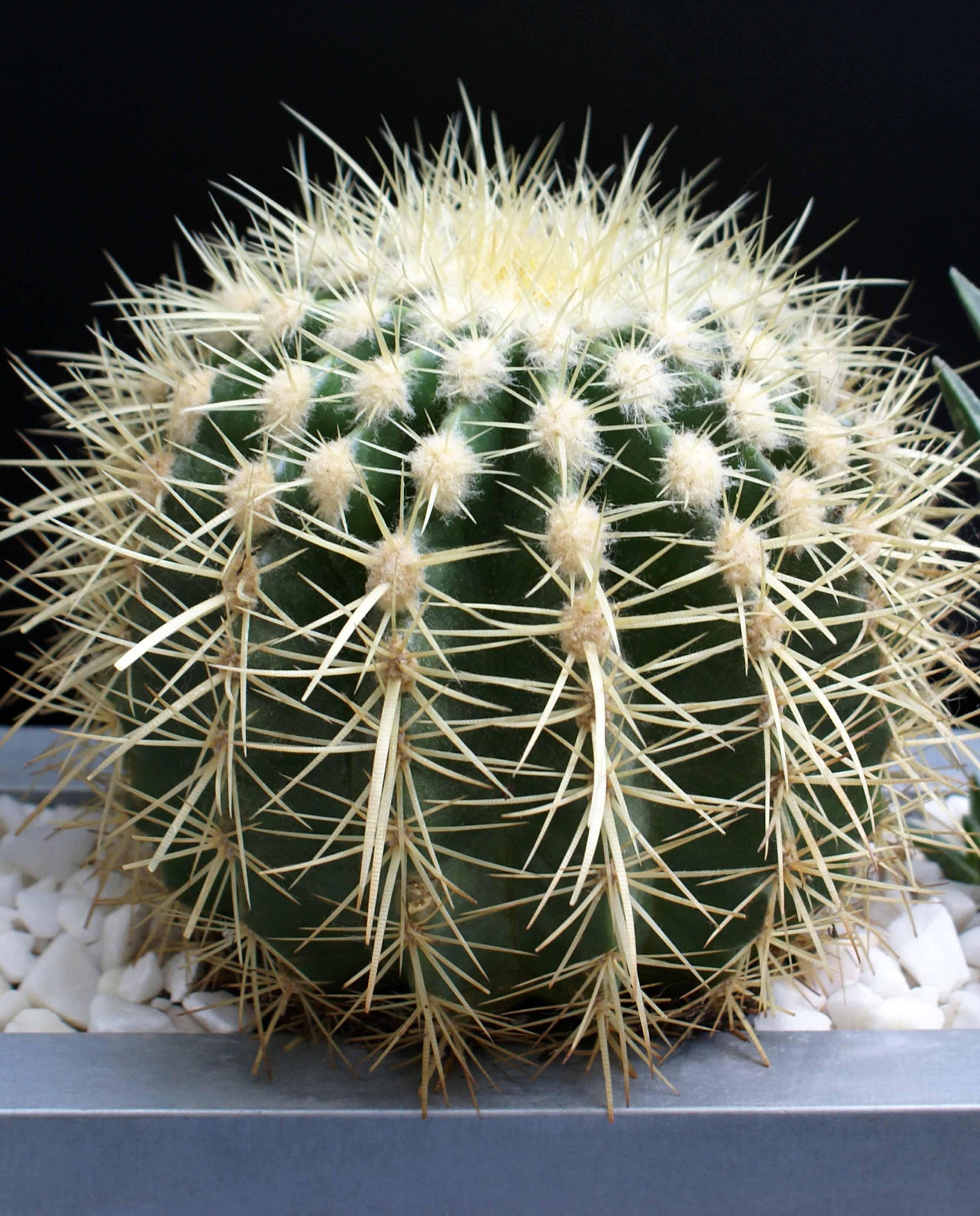 Эхинокактус домашний - уход, фото, цветение, полив, пересадка, болезни