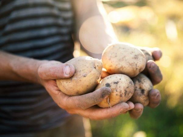 О картофеле винета: описание семенного сорта картофеля, характеристики, агротехника
