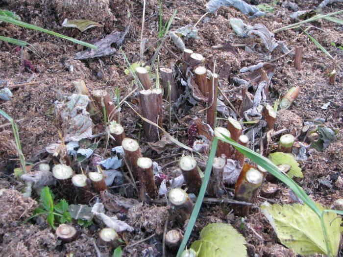 Как посадить и вырастить малину сорта «жар-птица»