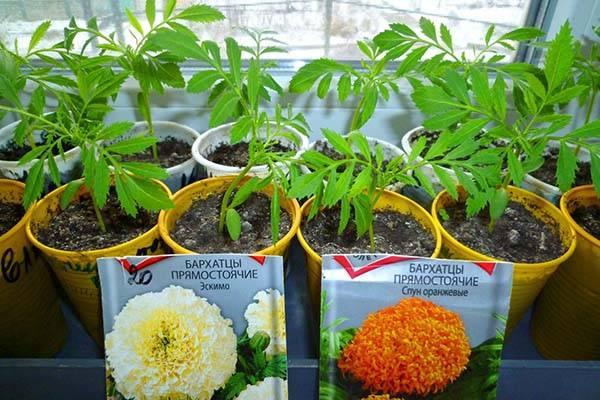 Бархатцы: выращивание из семян когда сажать в открытый грунт?
