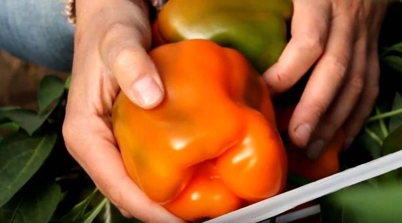 Описание сорта перца «оранжевое чудо» с отзывами и фото