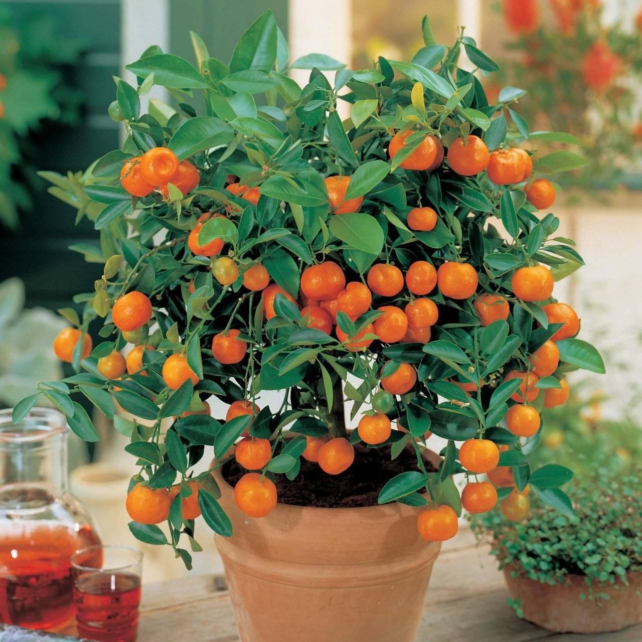 Комнатный мандарин: уход и выращивание в домашних условиях - sadovnikam.ru