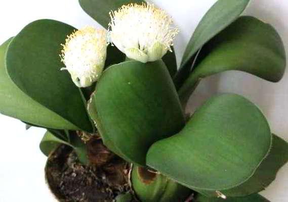 Луковичные и клубневые комнатные цветы (46 фото): уход в домашних условиях. растения с белыми цветками и длинными широкими листьями, другие виды