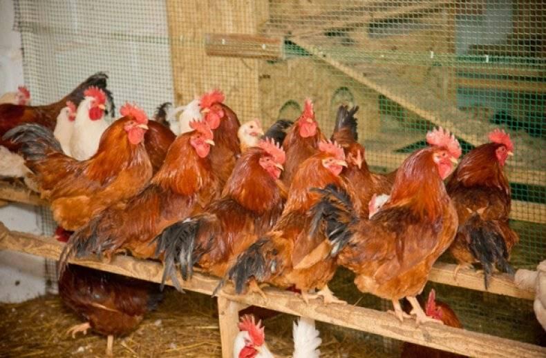 Описания 15 лучших мясных пород кур для разведения в домашних условиях