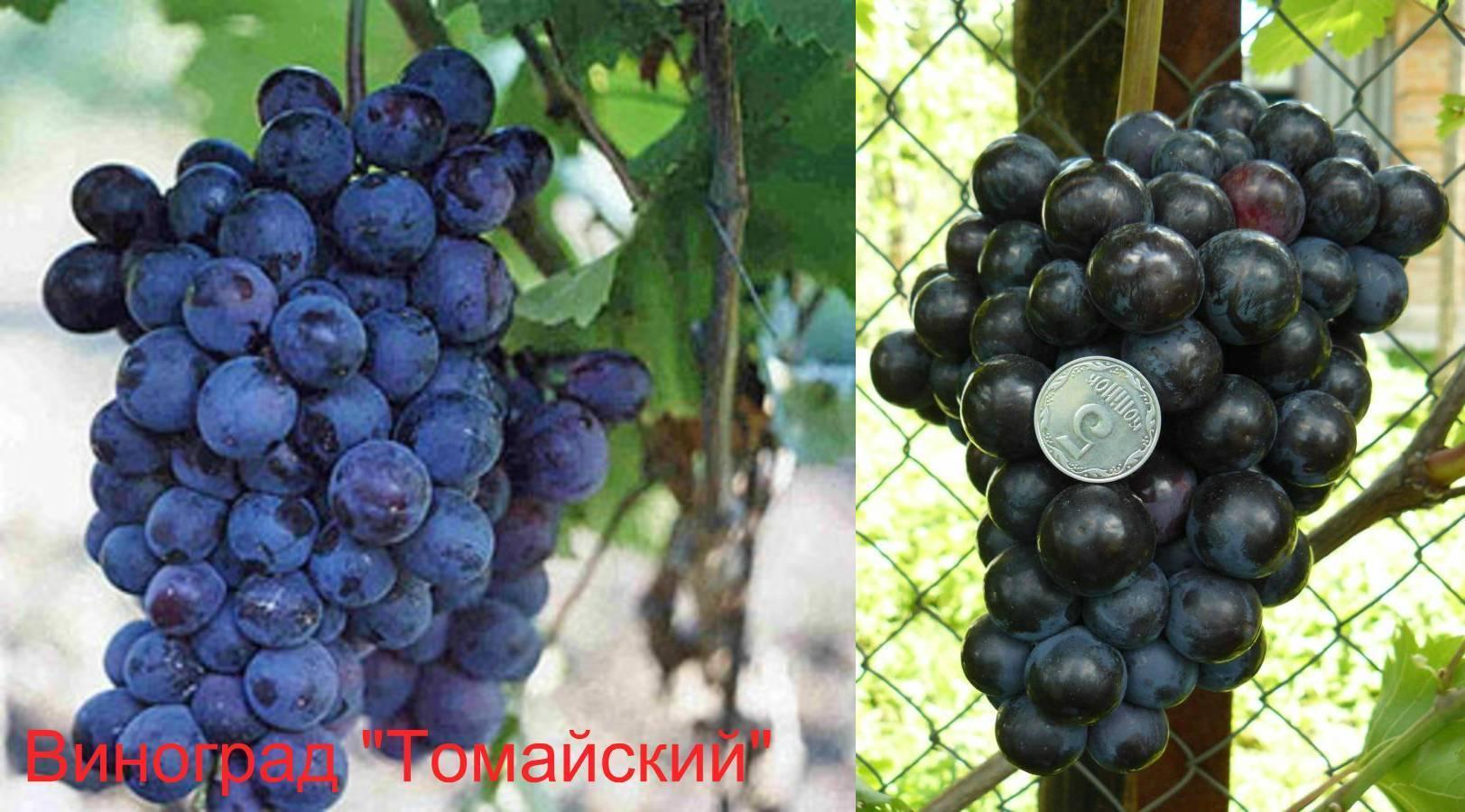 Описание винограда «фавор» с фотографиями и отзывами