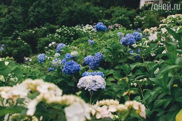 Как начинающему садоводу укрыть гортензию на зиму?