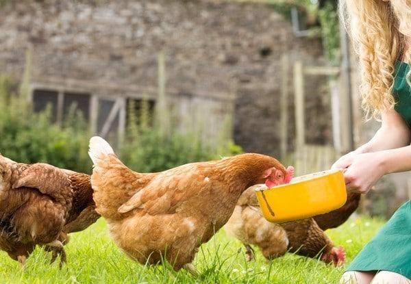 Как повысить яйценоскость кур?