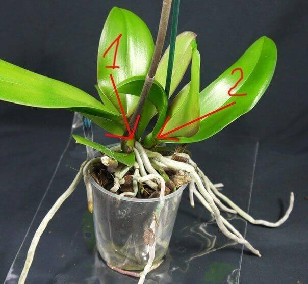 Как реанимировать орхидею: спасение цветка в домашних условиях - sadovnikam.ru