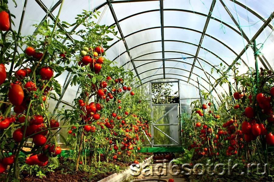 Когда высаживать помидоры в теплицу из поликарбоната: подготовка рассады, видео и фото