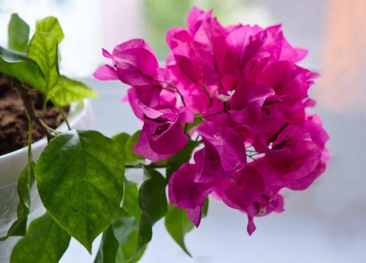 Бугенвиллия: уход в домашних условиях, обрезка, размножение, фото