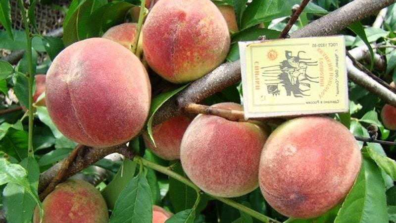 Какие сорта персиков можно выращивать в подмосковье