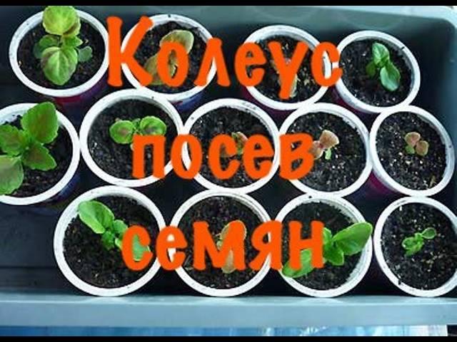 Колеус домашний - фото, уход, выращивание из семян