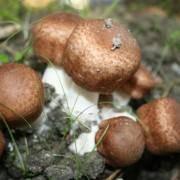 Таинственный гриб агарикус – бразильский секрет безупречного здоровья