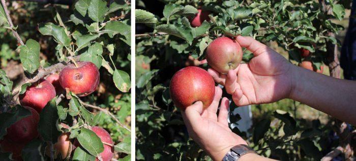 Продолжительность жизни дерева яблони