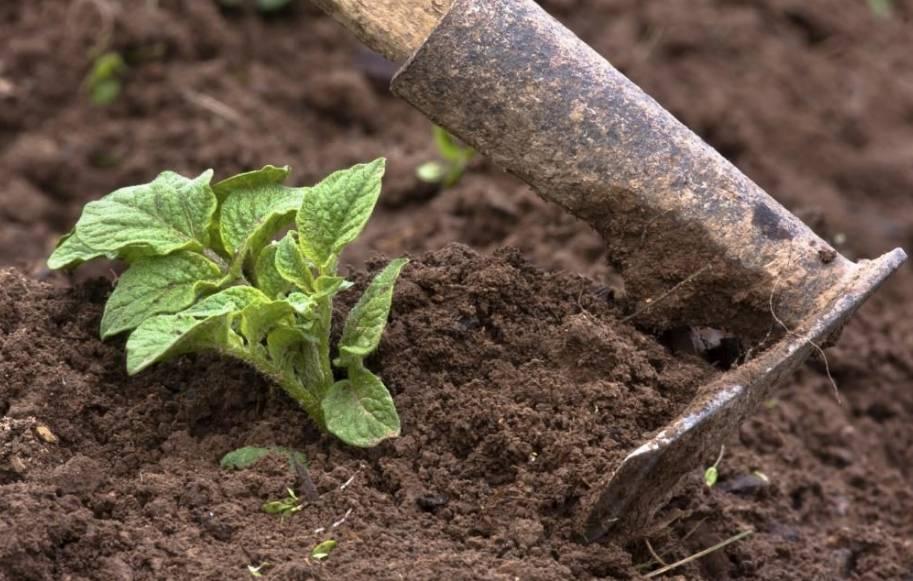 Удобрение для картофеля при посадке, что использовать весной