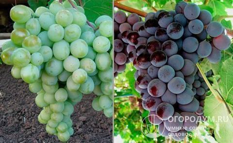 Виноград кардинал: описание сорта, агротехника выращивания и уход