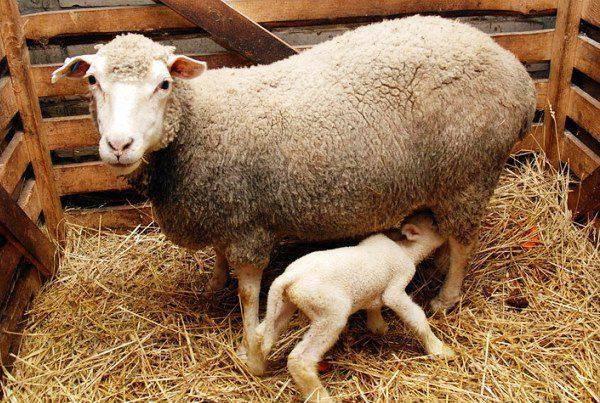 Случка и окот у овец: суягность, определение беременности, отъем ягнят
