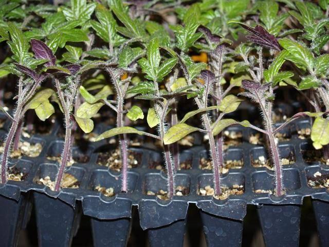 У рассады помидоров вянут листья: причина