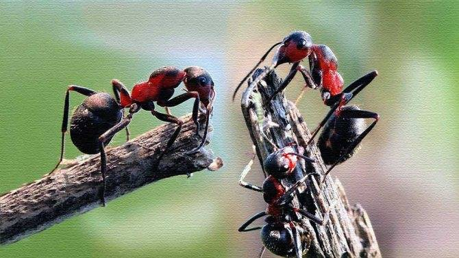 Как избавиться от садовых муравьев в теплице навсегда