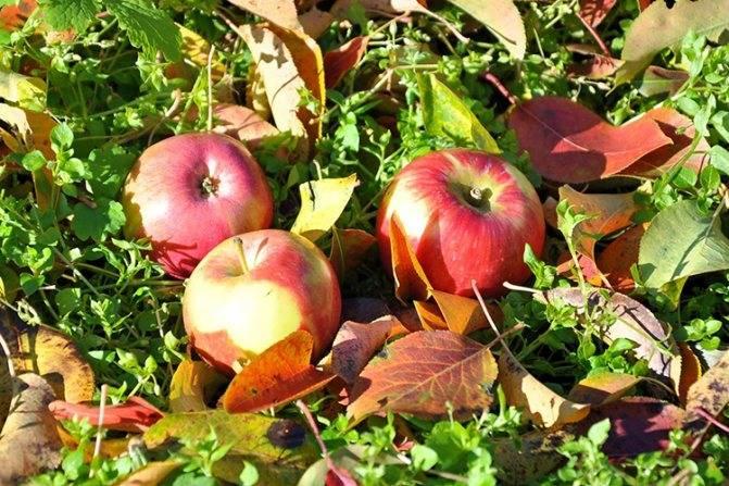 """Яблоня """"уэлси"""": описание сорта, фото, посадка и уход, отзывы"""
