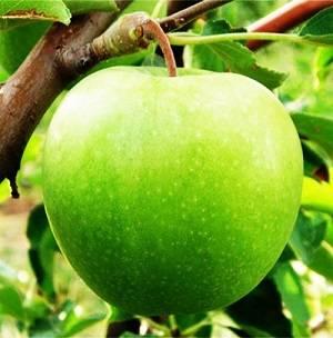 Яблоня джеромини: особенности сорта и ухода