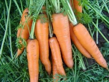 Морковь детская сладкая: отзывы об урожайности сладости, описание сорта лакомства, кто сажал и как
