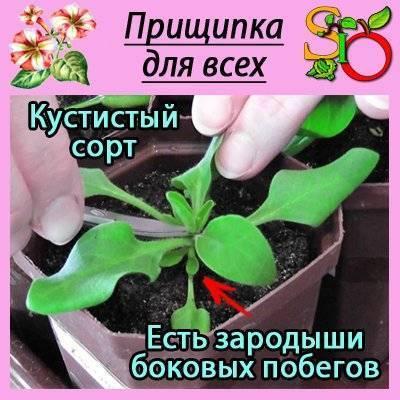 Прищипка петунии: над каким листом, фото, когда и как прищипывать рассаду петунии пошагово с видео