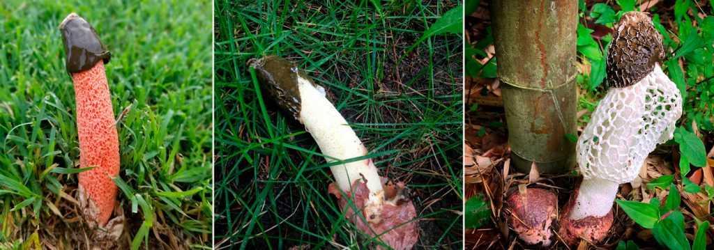 Веселка обыкновенная (phallus impudicus): вонючий и супер полезный гриб