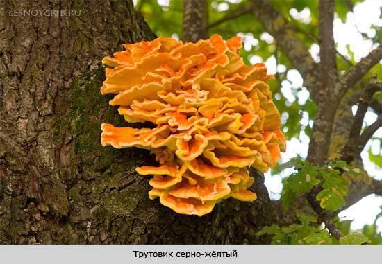 Грибы, растущие на деревьях: фото и описание