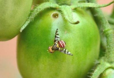 Тля на помидорах: как бороться, чем обрабатывать, фото