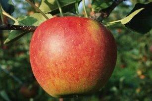 Описание сорта яблони легенда: фото яблок, важные характеристики, урожайность с дерева
