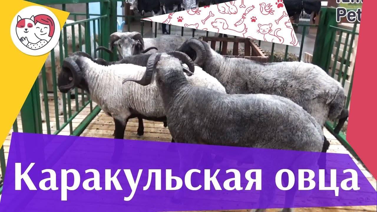 Цигайская овца: описание и особенности породы - fermerblog1