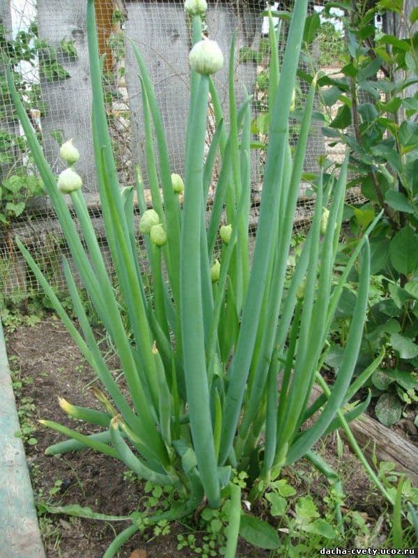 Лук-батун - выращивание из семян в однолетней и многолетней культуре