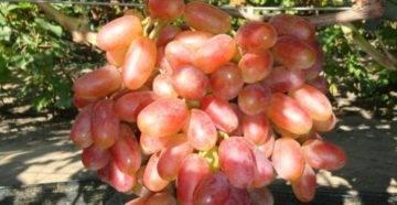 Описание винограда ягуар