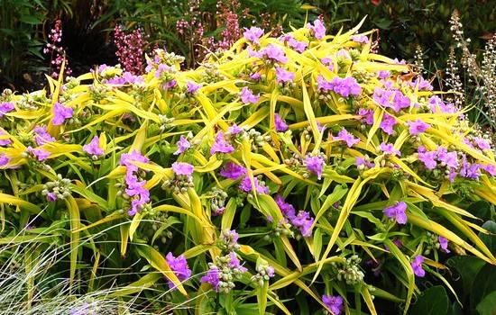 Садовые традесканции (50 фото): описание, сорт, выращивание, размножение, посадка, уход, виды