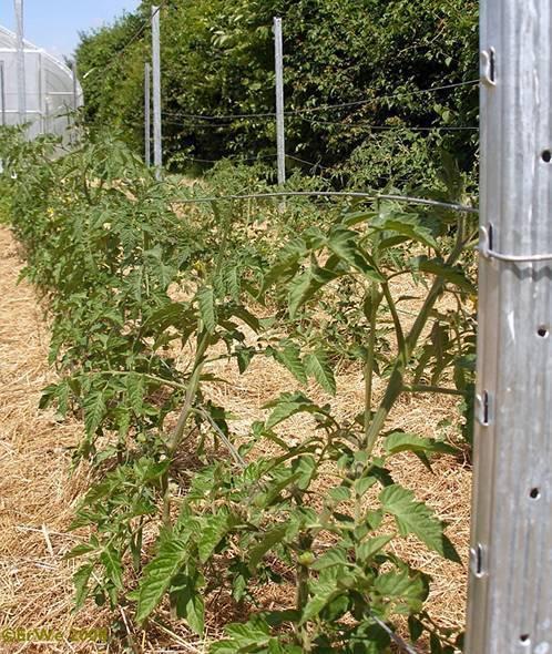 Как подвязать помидоры: лучшие способы и советы как подвязать высокорослые сорта в теплице или на открытом грунте (100 фото)