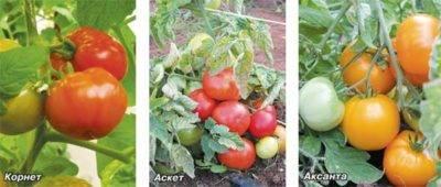 Когда нужно окучивать помидоры | вырасти сад!