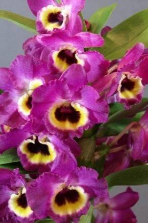Популярные сорта орхидеи дендробиум. выращивание и уход
