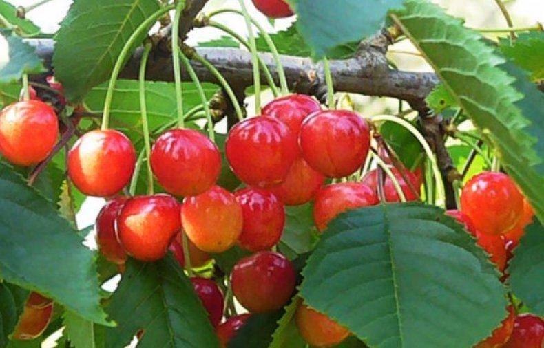Специфика выращивания черешни на урале