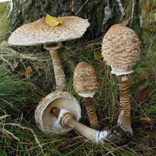 Рецепты приготовления гриба зонтика пёстрого и других видов
