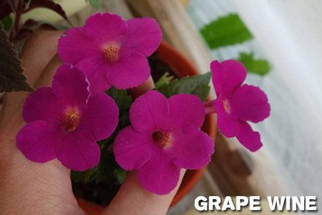 Ахименес: выращивание и уход в домашних условиях