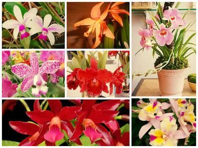 Орхидея каттлея — уход в домашних условиях и особенности