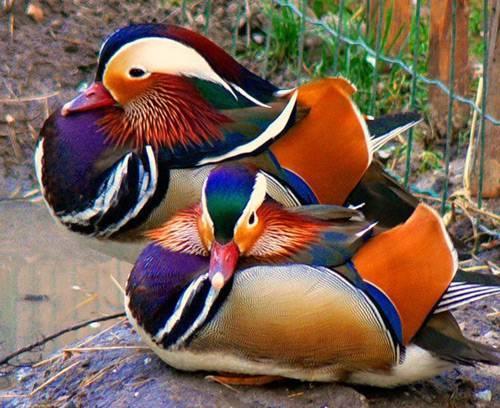 Виды уток с названием, описанием и фото диких и домашних разновидностей птицы